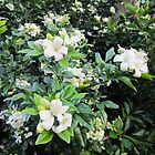 Mock Orange with Jasmine scented flowers by Albert