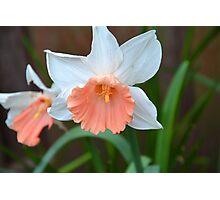 Pink Skirt Daffodil Photographic Print