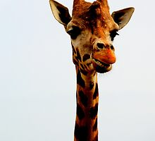 Giraffe on White by Barnbk02