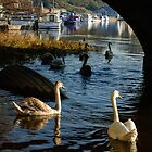 Swans under Graiguenamanagh Bridge, County Kilkenny, Ireland by Andrew Jones