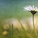 Dazzling Daisy... by Bob Daalder