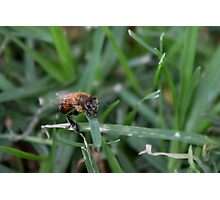 Wounded Bee in the Grass Photographic Print