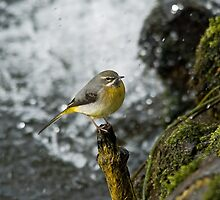 Grey Wagtail 2 by VoluntaryRanger