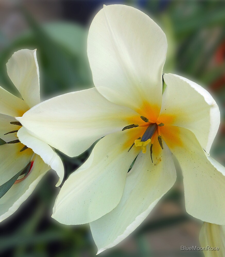 Gentle Tulip by BlueMoonRose