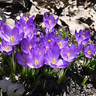 Crocus by kkmarais