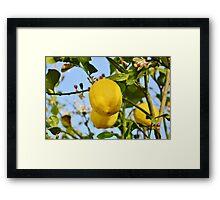 Growings Lemons in the sun Framed Print