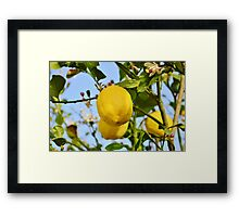 Growings Lemons in the sun Framed Print