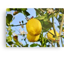Growings Lemons in the sun Metal Print