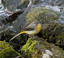 Grey Wagtail 4 by Jamie  Green