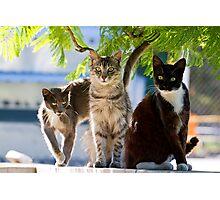 three wild cats Photographic Print
