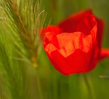 Poppies by kumari
