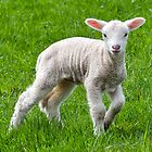 Lambing Time by Susie Peek
