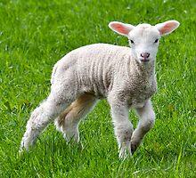 Lambing Time by Susie Peek