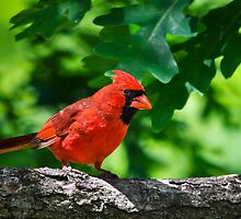 Cardinal Red Male Northern Cardinal by Christina Rollo