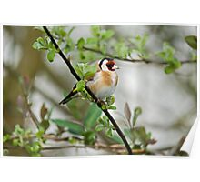 Goldfinch Poster