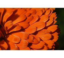 Shining Marigold Photographic Print