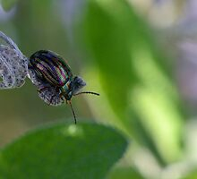 Rosemary Leaf Beetle - Chrysolina americana by Chris Monks