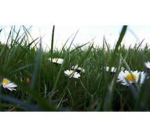 Down Among The Daisies Photographic Print