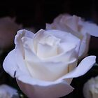 WHITE ROSES GROUP by pjm286