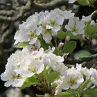 Pear Blossom on a Spring Day by arteestmavie