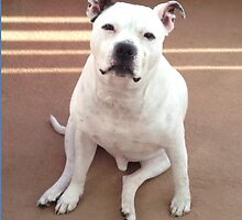 Staffordshire Bull Terrier by richieh755