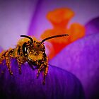 Bee on Spring Crocus #6  by Kane Slater