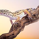 Leopard gecko by Angi Wallace