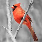 Male Cardinal Selective Coloring by hummingbirds