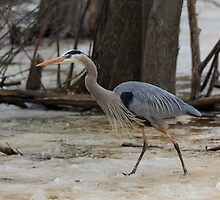 Great Blue Heron by Josef Pittner