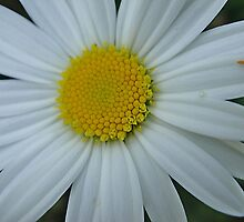 Pretty white and yellow chrysanthemum by fotosbykarin