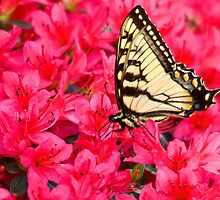 Tiger Swallowtail by Otto Danby II