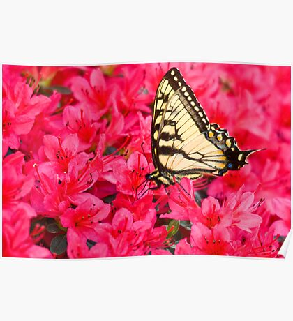 Tiger Swallowtail Poster