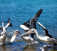 pelicans feeding by Anne Scantlebury