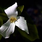 Trillium - Light and Shade by cclaude