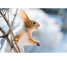 Red Squirrel 6 Photographic Print
