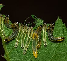 Caterpillar Gems by Symbiosis - Justin Brosey