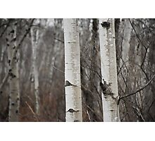 Birch Trees Photographic Print