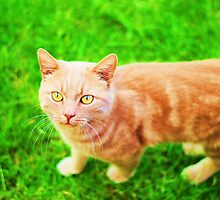 Handsome Ginger cat on the grass by LemonMeringue