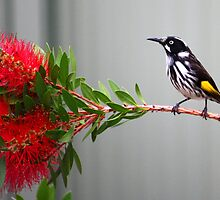 New Holland Honeyeater by Emmy Silvius