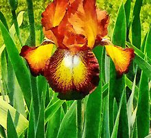 Spreckles Iris by Susan Savad