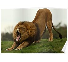 Lion wake up call Poster