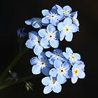 Forget-me-not macro by Rivendell7