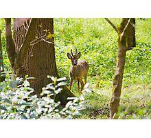Roe Deer.. Photographic Print