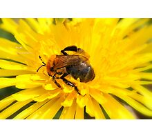 """ Flower Bee Immersed In A Dandelion "" Photographic Print"
