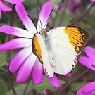 Orange tipped butterfly. by Livvy Young