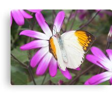 Orange tipped butterfly. Canvas Print