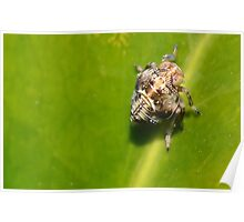 Very Tiny Bug.   Leaf hopper nymph  [ Issus coleoptratus. ] Poster