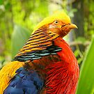 Golden Pheasant by Crin