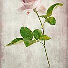 Shabby Chic English Tea Rose  by Honey Malek