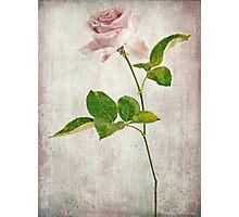 Shabby Chic English Tea Rose  Photographic Print